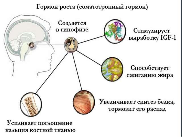 соматотропный гормон