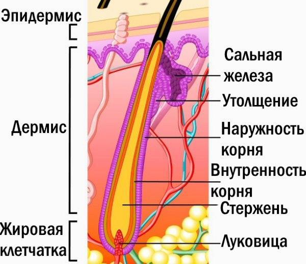 Структура волос.